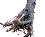burdock root natural herbs