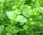 chickweed natural herbs